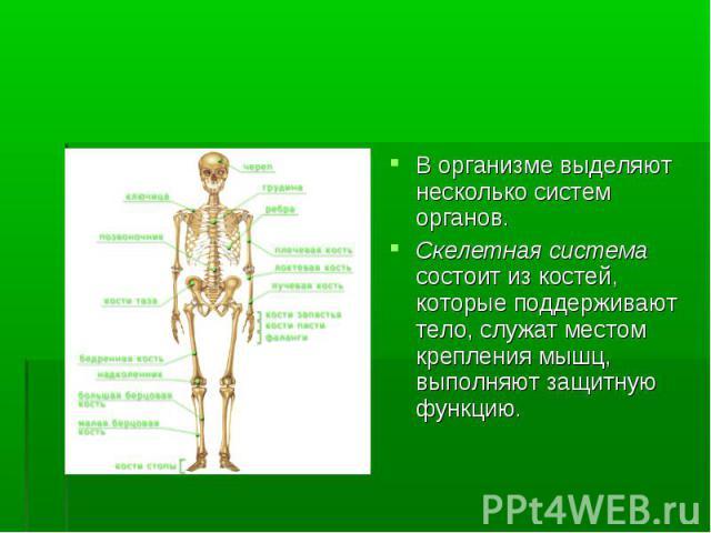 В организме выделяют несколько систем органов. В организме выделяют несколько систем органов. Скелетная система состоит из костей, которые поддерживают тело, служат местом крепления мышц, выполняют защитную функцию.