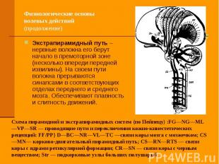 Физиологические основы волевых действий (продолжение) Экстрапирамидный путь – не