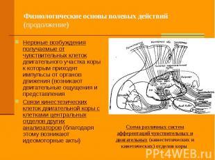 Физиологические основы волевых действий (продолжение) Нервные возбуждения получа