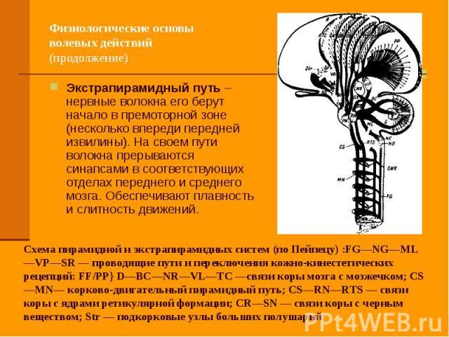 Физиологические основы волевых действий (продолжение) Экстрапирамидный путь – нервные волокна его берут начало в премоторной зоне (несколько впереди передней извилины). На своем пути волокна прерываются синапсами в соответствующих отделах переднего …