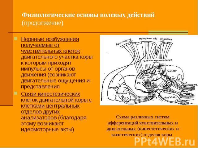 Физиологические основы волевых действий (продолжение) Нервные возбуждения получаемые от чувствительных клеток двигательного участка коры к которым приходят импульсы от органов движения (возникают двигательные ощущения и представления Связи кинестези…