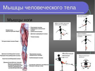 Мышцы ноги Мышцы ноги