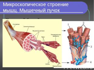 Под какой буквой обозначены гладкая и поперечнополосатая мускулатура? А-; Б-. По