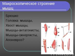 Брюшко Брюшко Головка мышцы, Хвост мышцы, Мышцы-антагонисты, Мышцы-синергисты, А