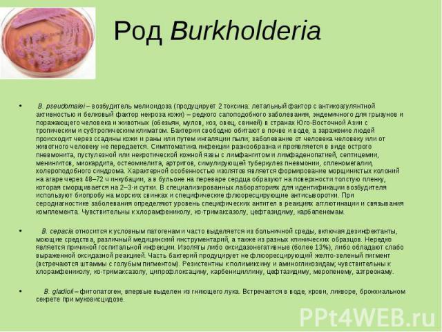 В. pseudomalei – возбудитель мелиоидоза (продуцирует 2 токсина: летальный фактор с антикоагулянтной активностью и белковый фактор некроза кожи) – редкого сапоподобного заболевания, эндемичного для грызунов и поражающего человека и животных (обезьян,…