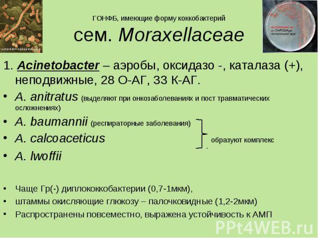 1. Acinetobacter – аэробы, оксидазо -, каталаза (+), неподвижные, 28 О-АГ, 33 К-АГ. 1. Acinetobacter – аэробы, оксидазо -, каталаза (+), неподвижные, 28 О-АГ, 33 К-АГ. A. anitratus (выделяют при онкозаболеваниях и пост травматических осложнениях) A.…