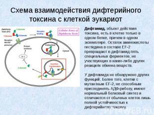 Схема взаимодействия дифтерийного токсина с клеткой эукариот