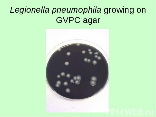 Legionella pneumophila growing on GVPC agar
