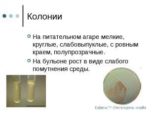 Колонии На питательном агаре мелкие, круглые, слабовыпуклые, с ровным краем, пол