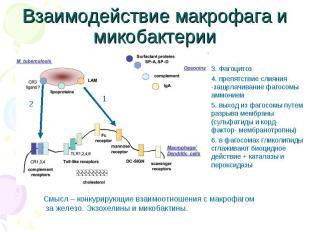 3. Фагоцитоз 3. Фагоцитоз 4. препятствие слияния -защелачивание фагосомы аммоние