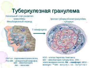 ПАР кл - паренхиматозная клетка, ПАР кл - паренхиматозная клетка, Рез МФ – резид