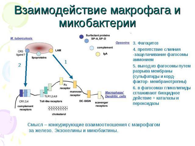 3. Фагоцитоз 3. Фагоцитоз 4. препятствие слияния -защелачивание фагосомы аммонием 5. выход из фагосомы путем разрыва мембраны (сульфатиды и корд-фактор- мембранотропны) 6. в фагосомах гликолипиды сглаживают биоцидное действие + каталазы и пероксидазы