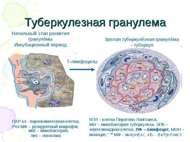 ПАР кл - паренхиматозная клетка, ПАР кл - паренхиматозная клетка, Рез МФ – резидентный макрофаг, мкб – микобактерия, лиз – лизосома