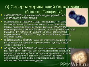 Возбудитель: дрожжеподобный диморфный грибок Blastomyces dermatitidis. Развивает