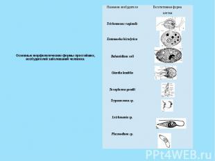 Основные морфологические формы простейших, возбудителей заболеваний человека