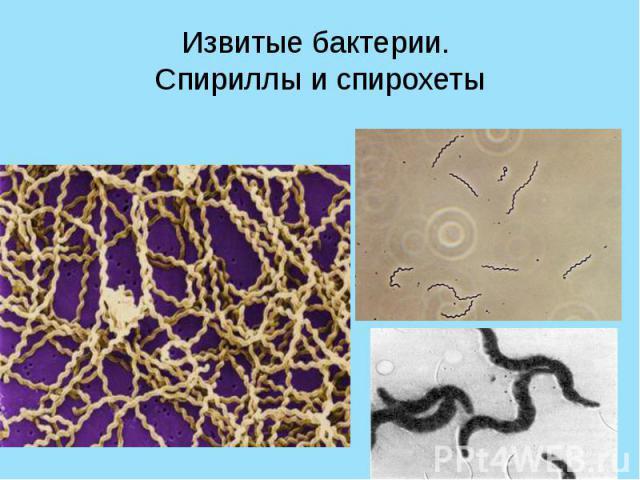 Извитые бактерии. Спириллы и спирохеты