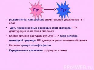 p.Leptotrichia, Xantobacter: значительное увеличение ПГ-слоя p.Leptotrichia, Xan