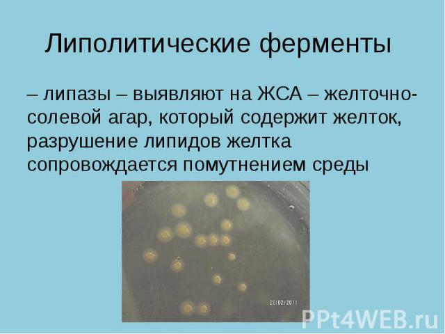 Липолитические ферменты – липазы – выявляют на ЖСА – желточно- солевой агар, который содержит желток, разрушение липидов желтка сопровождается помутнением среды