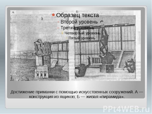 Достижение приманки с помощью искусственных сооружений. А — конструкция из ящиков; Б — живая «пирамида».