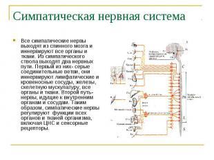 Симпатическая нервная система Все симпатические нервы выходят из спинного мозга