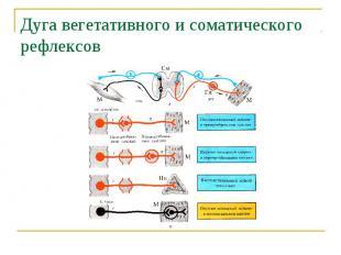 Дуга вегетативного и соматического рефлексов