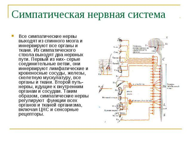 Симпатическая нервная система Все симпатические нервы выходят из спинного мозга и иннервируют все органы и ткани. Из симпатического ствола выходят два нервных пути. Первый из них- серые соединительные ветви, они иннервируют лимфатические и кровеносн…