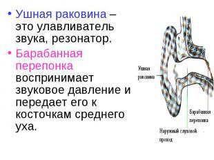 Ушная раковина – это улавливатель звука, резонатор. Ушная раковина – это улавлив