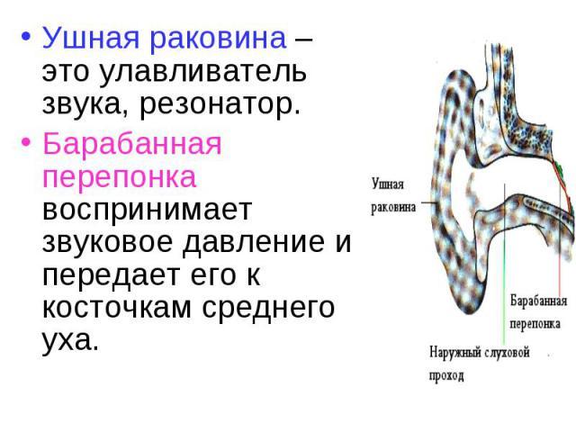 Ушная раковина – это улавливатель звука, резонатор. Ушная раковина – это улавливатель звука, резонатор. Барабанная перепонка воспринимает звуковое давление и передает его к косточкам среднего уха.