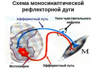 Схема моносинаптической рефлекторной дуги