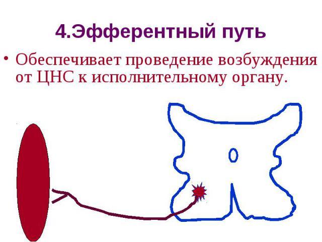 4.Эфферентный путь Обеспечивает проведение возбуждения от ЦНС к исполнительному органу.