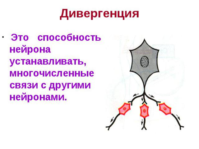 Дивергенция Это способность нейрона устанавливать, многочисленные связи с другими нейронами.