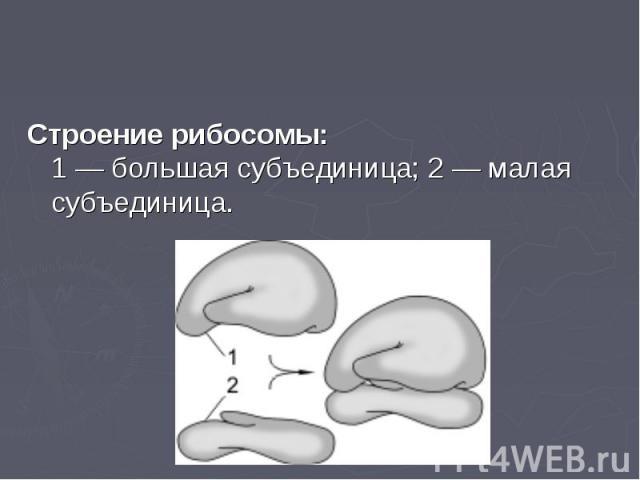 Строение рибосомы: 1— большая субъединица; 2— малая субъединица. Строение рибосомы: 1— большая субъединица; 2— малая субъединица.