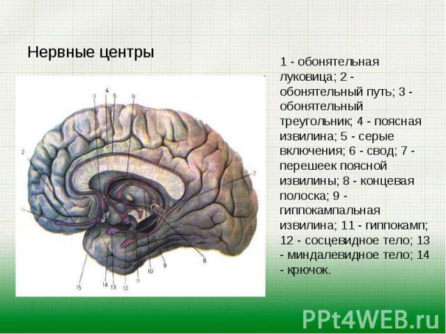 Нервные центры Нервные центры