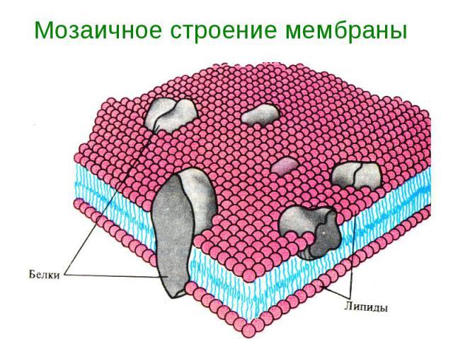 Мозаичное строение мембраны