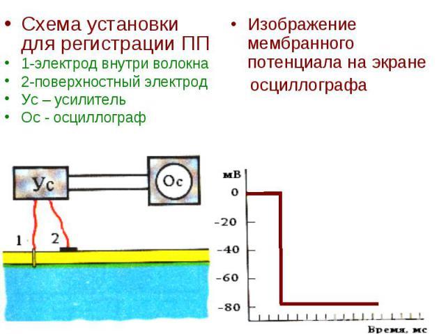 Схема установки для регистрации ПП Схема установки для регистрации ПП 1-электрод внутри волокна 2-поверхностный электрод Ус – усилитель Ос - осциллограф