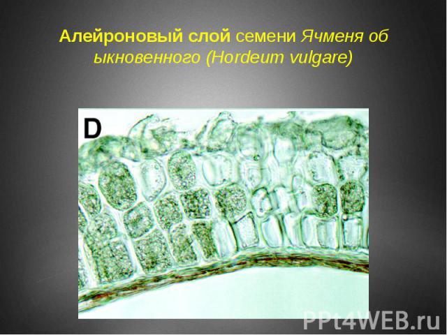 Алейроновый слой семени Ячменя обыкновенного (Hordeum vulgare)