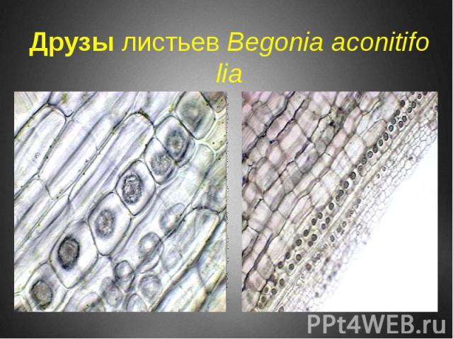 Друзы листьев Begonia aconitifolia