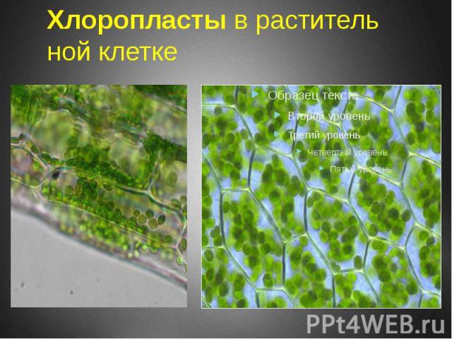 Хлоропласты в растительной клетке