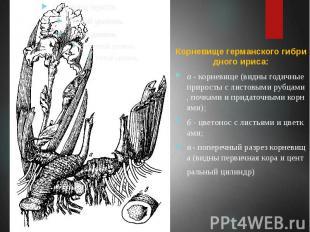 Корневище германского гибридного ириса: а - корневище (видны годичные приросты с