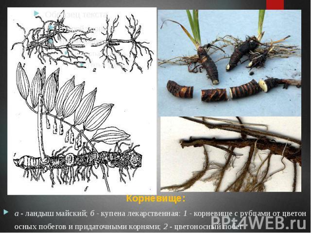 Корневище: Корневище: а - ландыш майский; б - купена лекарственная: 1 - корневище с рубцами от цветоносных побегов и придаточными корнями; 2 - цветоносный побег