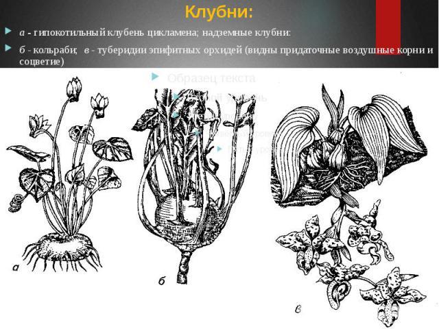 Клубни: Клубни: а - гипокотильный клубень цикламена; надземные клубни: б - кольраби; в - туберидии эпифитных орхидей (видны придаточные воздушные корни и соцветие)