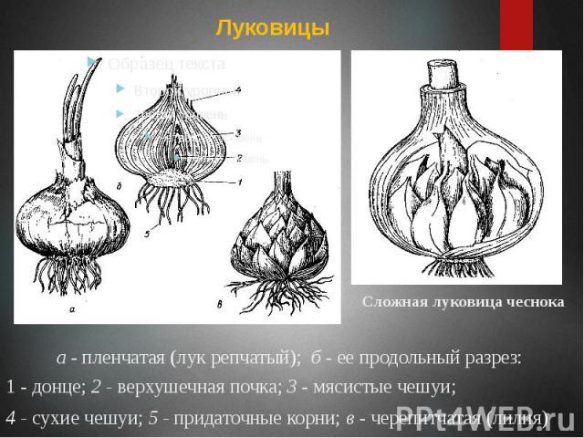а - пленчатая (лук репчатый); б - ее продольный разрез: а - пленчатая (лук репчатый); б - ее продольный разрез: 1 - донце; 2 - верхушечная почка; 3 - мясистые чешуи; 4 - сухие чешуи; 5 - придаточные корни; в - черепитчатая (лилия)