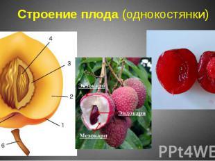 Строение плода (однокостянки)