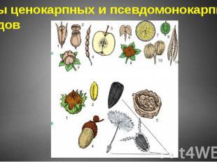 Типы ценокарпных и псевдомонокарпных плодов