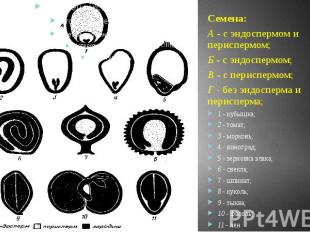Семена: А - с эндоспермом и периспермом; Б - с эндоспермом; В - с периспермом; Г
