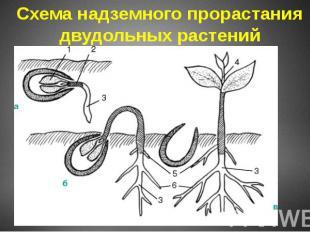 Схема надземного прорастания двудольных растений