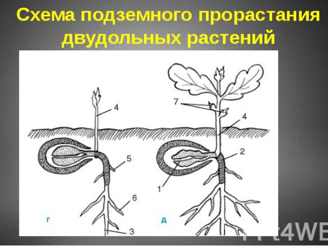 Схема подземного прорастания двудольных растений