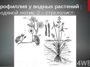 Гетерофиллия у водных растений : 1 – водяной лютик; 2 – стрелолист;