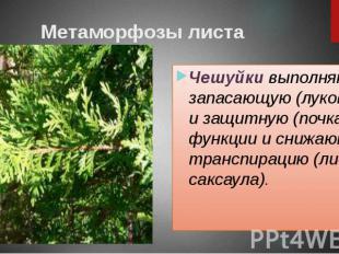 Метаморфозы листа Чешуйки выполняют запасающую (луковица) и защитную (почка) фун