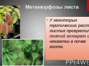 Метаморфозы листа У некоторых тропических растений листья превратились в ловчий